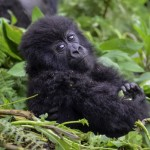 Toddler and Baby Gorilla Have Fun at Zoo