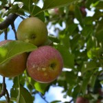 The Best Places to Pick Apples